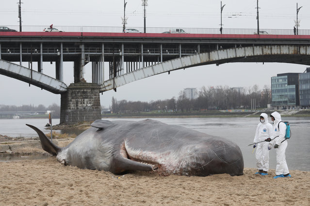 """A life-size, hyperreal statue of a sperm whale on the urban beach in Warsaw, Poland, 08 December 2017. A group of Belgian artists """"Captain Boomer Collective"""" organized a happening to pay attention on the water pollution and the destruction of the ecosystems. (Photo by Pawel Supernak/EPA/EFE)"""