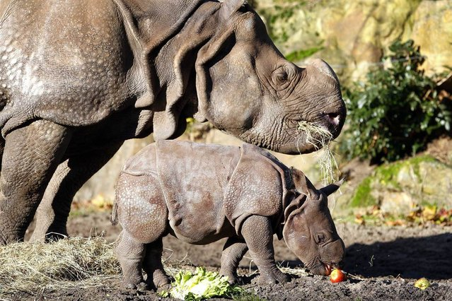 Rhinoceros baby Zwatra walks outside for the first time with her mother Namaste at the Rotterdam Zoo in the Netherlands, on November 28. The baby was born on November 3, 2012. (Photo by Bas Czerwinski/EPA)