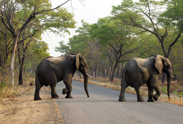 In this photo taken on Thursday, October 1, 2015, elephants cross the road in Hwange National Park, about 700 kilometres south west of Harare. Fourteen elephants were poisoned by cyanide in Zimbabwe in three separate incidents, two years after poachers killed more than 200 elephants by poisoning, Zimbabwe's National Parks and Wildlife Management Authority said Tuesday, Oct. 6, 2015. (Photo by Tsvangirayi Mukwazhi)/AP Photo)