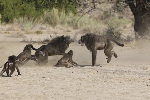 A dominant male Chacma baboon fights for access to females in Tsoaobis Leopard Park in Namibia in this 2007 handout photo provided by Eurekalert.org on November 12, 2014. Predators like leopards and cheetahs are not the biggest mortal threat to baby Chacma baboons, large and aggressive monkeys that live across southern Africa. That threat comes from adult males of their own species. (Photo by Elise Huchard/Reuters)