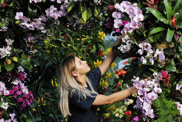 Employee Jenny Forgie works on an orchid display at Kew Gardens in London, Thursday, February 8, 2018. The 23rd annual Orchid Festival is the first one with a Thailand theme, 66 volunteers worked on the 6,950 exhibited orchids. The festival is open from Feb. 10, 2018 until March 11, 2018. (Photo by Frank Augstein/AP Photo)