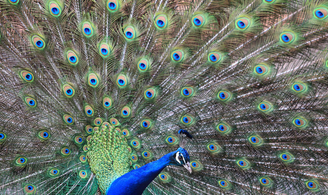 A peacock displays his feathers in a park Geiselwind, southern Germany on April 3, 2013. (Photo by Karl-Josef Hildenbrand/AFP Photo)