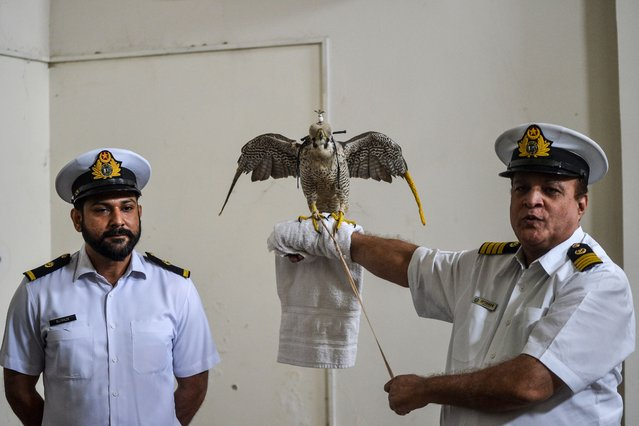 A customs officer (R) holds on his arm a falcon that was recovered from illegal captivity, during a press briefing with customs authorities in Karachi on October 17, 2020. (Photo by Rizwan Tabassum/AFP Photo)