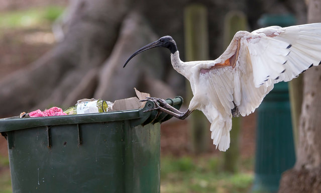 Of all the species affected by river regulation in Australia, the ibis is one of the few that has changed its behaviour and moved to coastal cities. (Photo by Rick Stevens/The Guardian)
