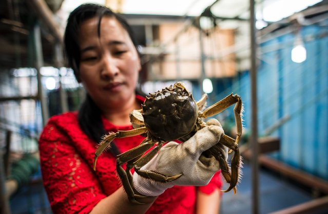 This picture taken on October 18, 2016 shows a vendor holding a hairy crab in her shop in Bacheng township, near Yangcheng Lake in Kunshan. Autumn is believed to be the best season for eating and harvesting hairy crabs, which are regarded as a delicacy in Shanghai and neighbouring provinces. (Photo by Johannes Eisele/AFP Photo)