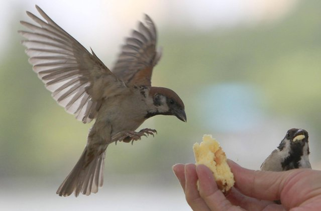 Wild sparrows are being fed by hand in Ueno park in Tokyo, Tuesday, July 16, 2013. (Photo by Azusa Uchikura/AP Photo)