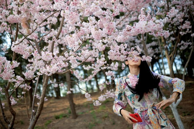 A woman stands amid blooming trees during cherry blossom season in Yuyuantan Park in Beijing, China, March 31, 2021. (Photo by Thomas Peter/Reuters)