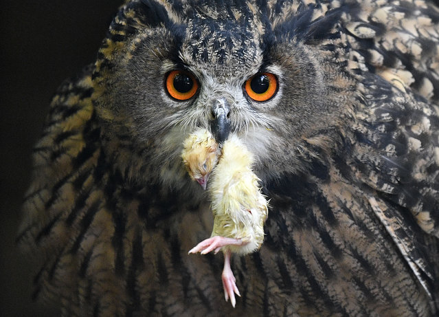 An eagle owl holds a little dead bird in his beak at his enclosure in a park in Essen, Germany, Tuesday, September 11, 2018. (Photo by Martin Meissner/AP Photo)