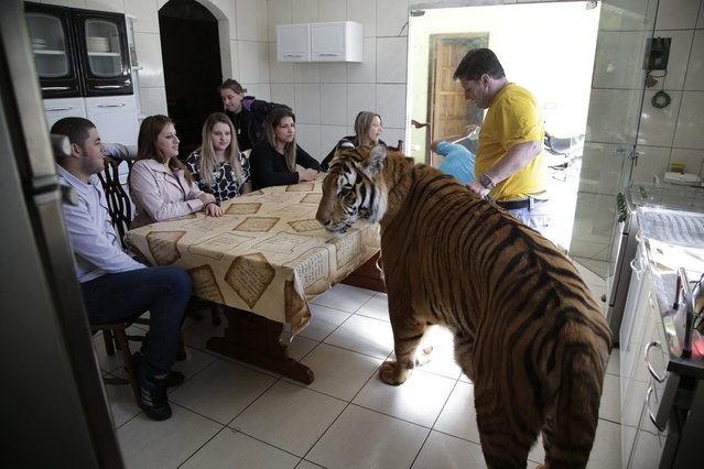 Wevellyn Antunes Rocha, from left to right, Maria Deusaunira Borges, Uyara Borges, Nayara Borges (back), Daniella Klipe, Gisele Candido, and Ary Borges gather at the breakfast table with tiger Tom, in Maringa, Brazil, Friday, September 27, 2013.  Ary Borges, who cares for Tom, eight other tigers and two lionesses, is in a legal battle with federal wildlife officials to keep his endangered animals from undergoing vasectomies and being taken away from him. (Photo by Renata Brito/AP Photo)