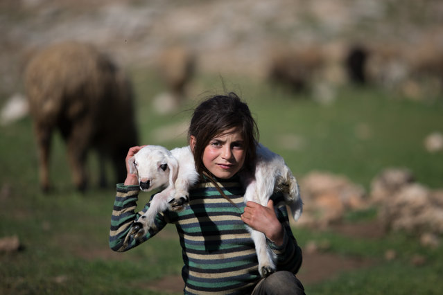 A nomad kid carries a newborn lamb as she is on the way to grazing fertile areas for animals at highlands after weather heats up during spring season, in Sanliurfa province of southeast Turkey on April 12, 2018. Nomadic families, who have to replace to find more fertile grassland for their animals according to the seasons, leave for the highlands as the air temperature in Sanliurfa rises. Animal breeders, who dismantled their tents and loaded them on their vehicles, took to the roads with thousands of animals. (Photo by Halil Fidan/Anadolu Agency/Getty Images)