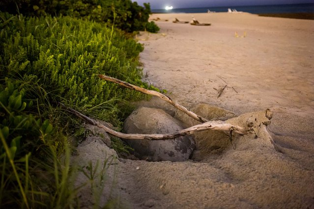 A green turtle nests under a branch on Singer Island. (Photo by Greg Lovett/The Palm Beach Post)