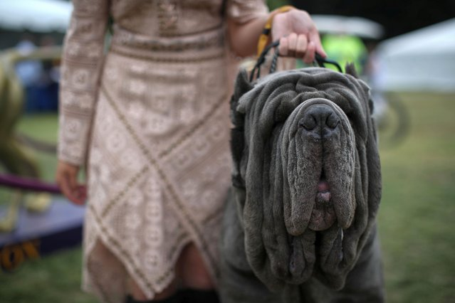 Maximus, a Neapolitan Mastiff, stands by with his handler after breed judging at the 145th Westminster Kennel Club Dog Show at Lyndhurst Mansion in Tarrytown, New York, U.S., June 13, 2021. (Photo by Mike Segar/Reuters)