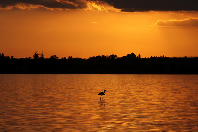 CYPRUS: A flamingo walks during the sunset in a salt lake in Larnaca, Cyprus December 11, 2016. (Photo by Yiannis Kourtoglou/Reuters)