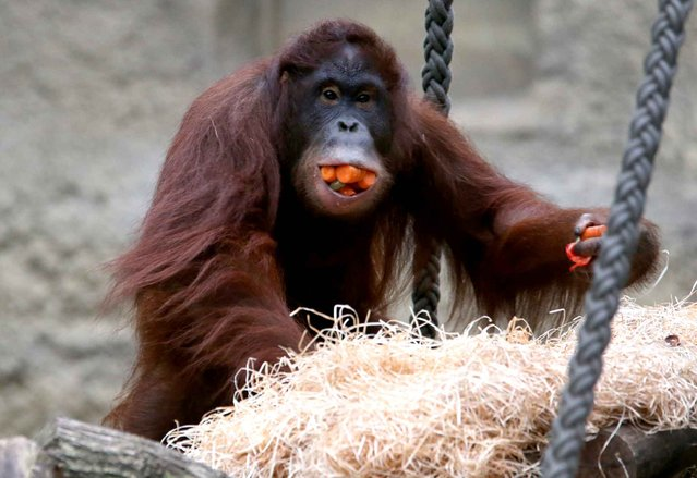 Female orang-outang Miri climbs while carrying food in her mouth and hands at the Darwineum in Rostock, Germany, on November 18, 2013. The Darwineum was opened on September 8, 2012. Apart from apes it accomodates about 40 species. It offers it's visitors a trip through evolution. (Photo by Bernd Wuestneck/AFP Photo/DPA)