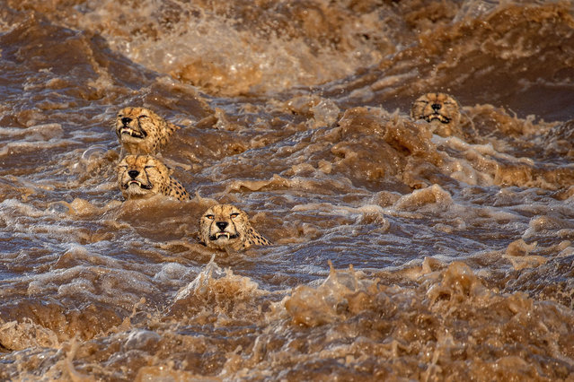 A coalition of cheetahs struggle to keep their heads above water after heavy storms caused nearby rivers to burst their banks at the Maasai Mara national reserve. (Photo by Buddhilini De Soyza/MediaDrumImages)