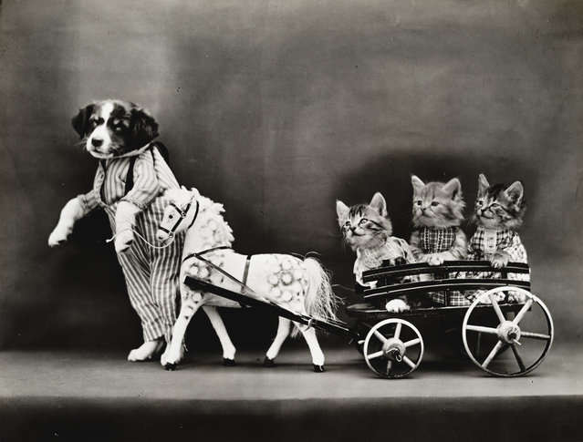 Photograph shows a puppy and three kittens wearing clothes with a toy horse and wagon, 1914. (Photo by Harry Whittier Frees/Library of Congress)
