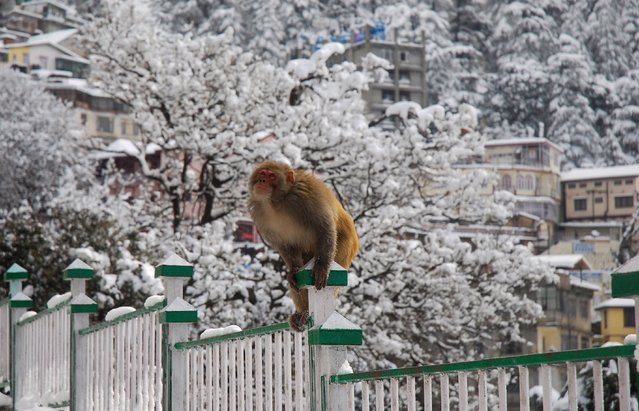 A monkey sits on a railing and looks skywards in snow-covered Shimla, India, Saturday, January 18, 2014. The northern Indian hill town has been covered in a blanket of snow after it received its first heavy snowfall of the season Friday night. (Photo by AP Photo)