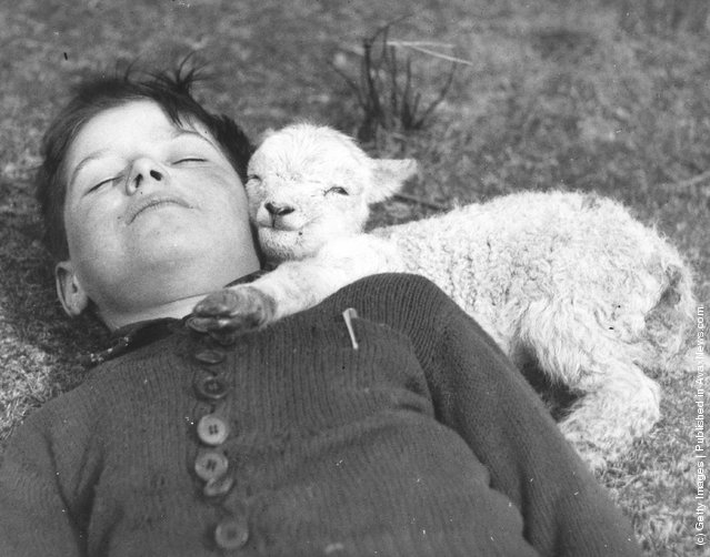A newly-born lamb suggles up to a sleeping boy, 1940