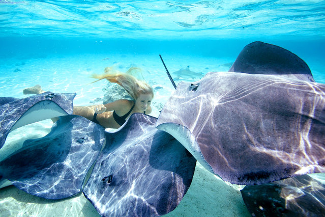Ocean Ramsey freediving with stingrays. (Photo by Juan Oliphant/Caters News)