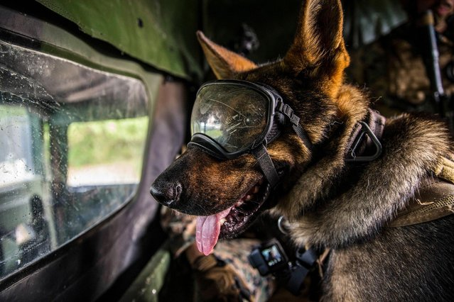 A U.S. Marine Corps military dog, Larry, is prepared to go with the Maritime Raid Force (MRF), 26th Marine Expeditionary Unit (MEU), is prepared to conduct a raid during Realistic Urban Training (RUT) in Camp Lejeune, USA on June 9, 2019. RUT provides an opportunity to train in an unfamiliar, urban environment as the 26th MEU pre-deployment training program. (Photo by U S Marines/ZUMA Wire/Shutterstock)