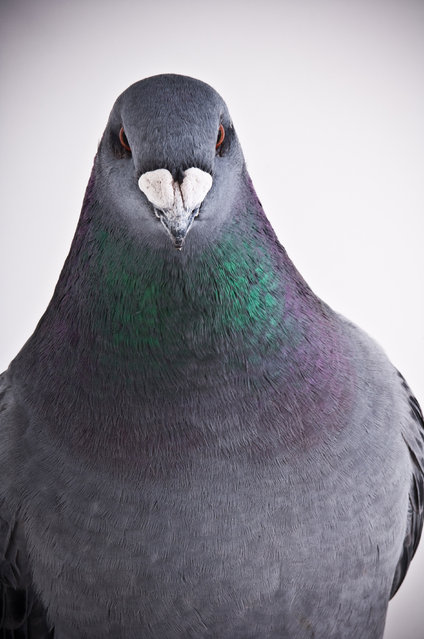 American Show Racer. Darwin's Pigeons series. (Photo by Photo by Richard Bailey/Caters News)