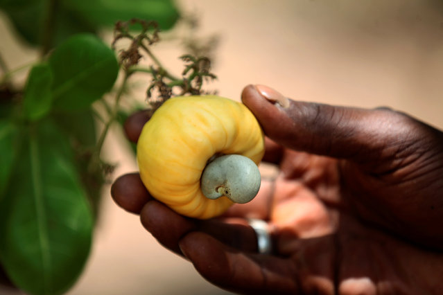 A man shows a cashew on a tree in Korhogo, Ivory Coast April 24, 2016. (Photo by Thierry Gouegnon/Reuters)