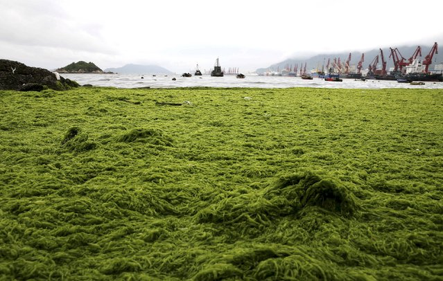 The coastline is seen covered by algae in Lianyungang, Jiangsu province, China, June 24, 2015. (Photo by Reuters/Stringer)