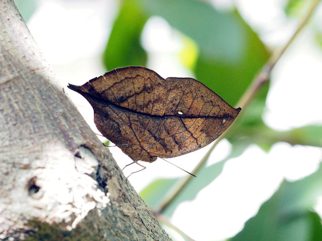 A Dead Leaf butterfly (Kallima inachu formosana, also called Orange Oakleaf Butterfly) rests on a tree trunk at the Taipei Zoo in Taipei, Tawian, 03 August 2019. Dead Leaf butterfly can be found in Tropical Asia from India to Japan. When its wings close, it resembles a dead leaf, providing camouflage against predators including birds, ants, spiders and wasps. (Photo by David Chang/EPA/EFE)