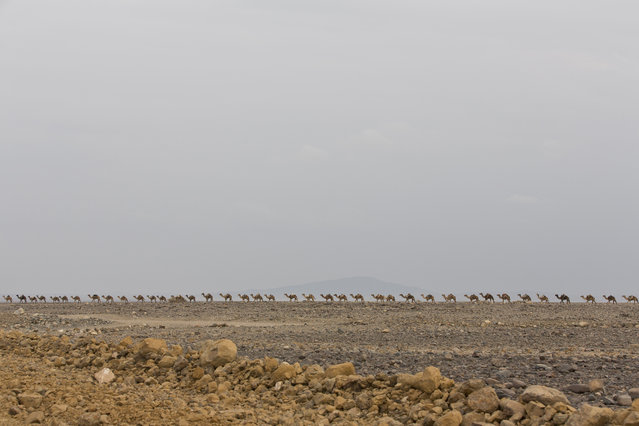 February 7, 2014 – Danakil Desert, Ethiopia: Camel caravan. (Photo by Ziv Koren/Polaris)