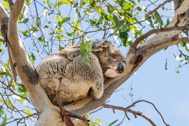 A koala sleeps high up a eucalyptus tree on Kangaroo Island, Southern Australia. A parliamentary report recommended the state declare koalas, western grey kangaroos, long-nosed fur seals and little corellas overabundant, and that culling should be considered. (Photo by Marco Taliani de Marchio/Alamy Stock Photo)