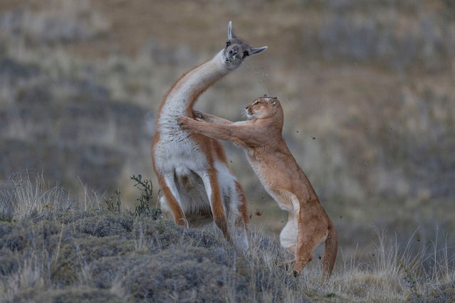 Mammals behaviour joint winner: The Equal Match by Ingo Arndt, Germany. Fur flies as the puma launches its attack on the guanaco. For the photographer, the picture marked the culmination of seven months tracking wild pumas on foot, enduring extreme cold and biting winds in the Torres del Paine region of Patagonia, Chile. (Photo by Ingo Arndt/2019 Wildlife Photographer of the Year)