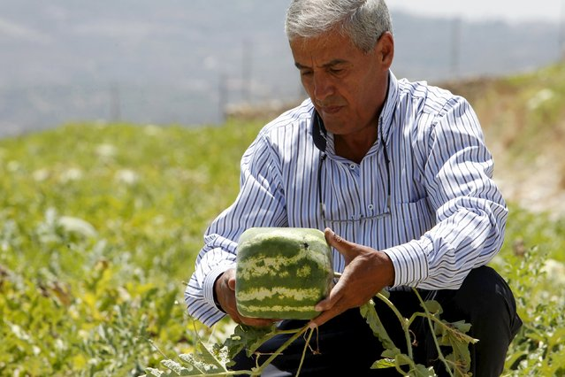 Agriculturist George Haddad holds a square-shaped watermelon that he grows in an agriculture field in Ain al-Mir village, southern Lebanon July 26, 2015. (Photo by Ali Hashisho/Reuters)