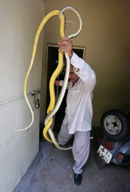 Snake expert Mohd. Saleem carries rat snakes to keep in his collection centre,  after being recovered from various spots and houses in Bhopal, India, 03 July 2014. Due to high humidity and hostile weather conditions in hot summer, snake occurence and their number gets higher in India. (Photo by Sanjeev Gupta/EPA)