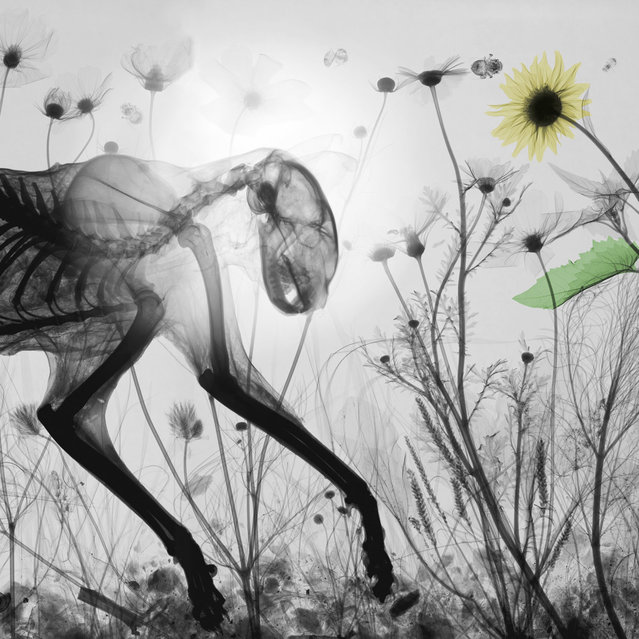 Coloured X-ray of a cat amongst wildflowers. A physicist has used X-ray to create an extraordinary collection of artwork. Arie van't Riets pictures reveal birds, fish, monkeys and flowers in an incredible new light. The 66-year-old, from Bathmen in the Netherlands, began X-raying flowers as a means to teach radiographers and physicians how the machine worked. But after adding a bit of colour to the pictures, the retired medical physicist realised the potential for an exciting new collection of art. (Photo by Arie van't Riet/Barcroft Media)