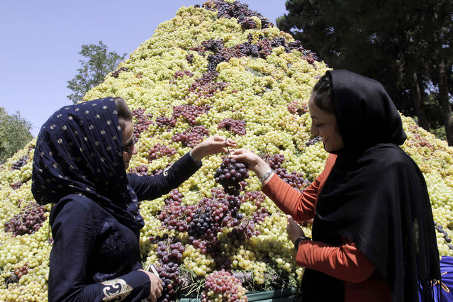 Afghan young women exhibit grapes to media representatives, during a festival for Afghan farmers to introduce grapes grown in Herat, in Herat city, west of Kabul, Afghanistan, Thursday, August 13, 2015. (Photo by Hoshang Hashimi/AP Photo)