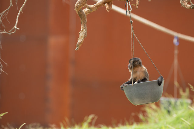 A Tufted Capuchin sits in a hanging food tray on a tree in it's enclosure at Sydney Zoo on February 24, 2020 in Sydney, Australia. Sydney Zoo, located at Bungarribee Park in Western Sydney, is the first new zoo to be built in Sydney in more than 100 years. The Zoo opened to the public on 7 December 2019. (Photo by Mark Kolbe/Getty Images)