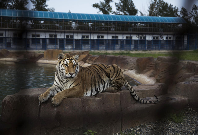 A Siberian tiger is seen at the Heilongjiang Siberian Tiger Park on July 5, 2017 in Harbin, northern China. (Photo by Kevin Frayer/Getty Images)