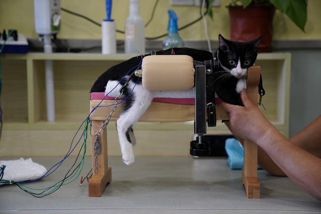 A cat receives acupuncture treatment in Shanghai, China on August 21, 2017. Traditional practitioners believe acupuncture of the body can stimulate blood circulation to promote healing and relieve some aches and pains. (Photo by Aly Song/Reuters)