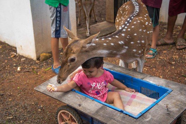 Prakash Amte's granddaughter is seen feeding s Spotted Deer on September 19, 2017 in Maharashtra, India. (Photo by Haziq Qadri/Barcroft Media)