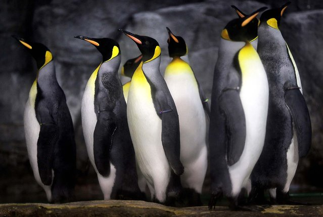 King Penguins stand in an enclosure at the Hakkeijima Sea Paradise aquarium-amusement park complex in Yokohama, near Tokyo, on September 30, 2012. (Photo by Itsuo Inouye/Associated Press)