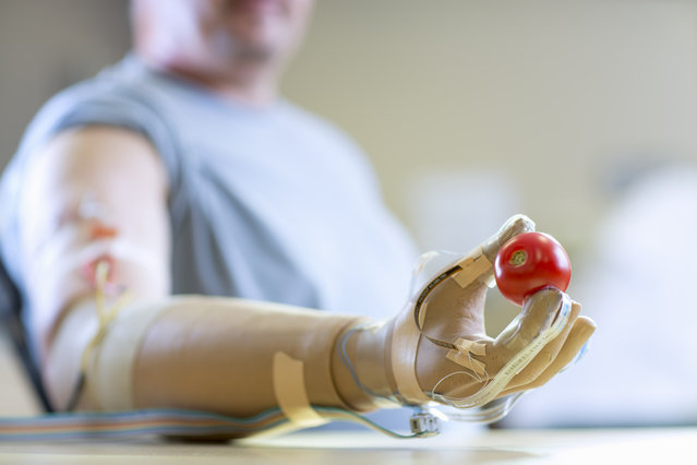 This undated handout image provided by Case Western Reserve University shows Igor Spetic of Madison, Ohio, holding a tomato he picked it up without losing a drop of juice. Scientists are moving closer to an artificial hand that can feel: Implanted electrodes allowed some amputees to tell by touch how gently to grasp, letting them pluck fruit without crushing it. (Photo by Russell Lee/AP Photo/Case Western Reserve University)