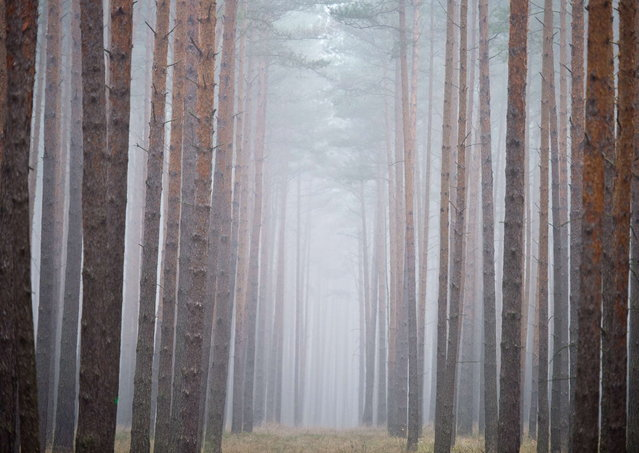 Fog hangs between pine trees in a forest near Neubrueck, eastern Germany, on November 20, 2012. Meteorologists forecast cloudy sky and temperatures around 5 degrees Celsius for the region. (Photo by Patrick Pleul/AFP Photo)