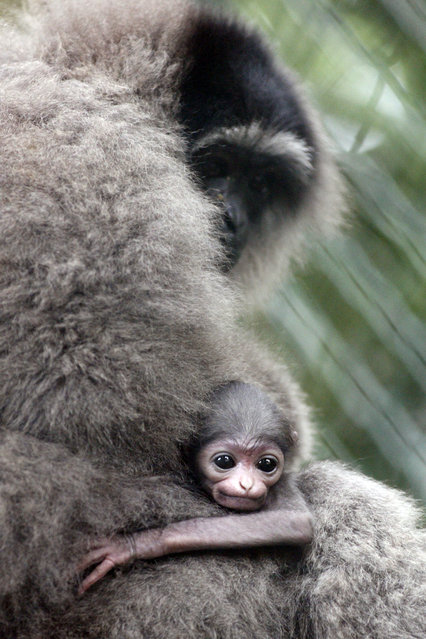 A two week old baby Owa Jawa monkey (Hylobates moloch) clings onto its mother at their cage in Bali Zoo in Gianyar, Bali, Indonesia, 03 December 2012. Illegal poaching and dwindling habitat has caused the population of Owa Jawa monkeys to fall drastically. The species can only be found in certain areas of West Java, Indonesia. (Photo by Made Nagi/EPA)