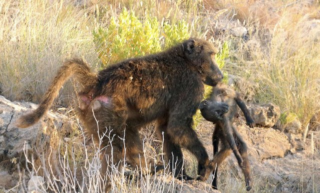 A female Chacma baboon carries a dead infant after it was killed by a dominant male in Tsoaobis Leopard Park in Namibia in this 2013 handout photo provided by Eurekalert.org on November 12, 2014. (Photo by Elise Huchard/Reuters)
