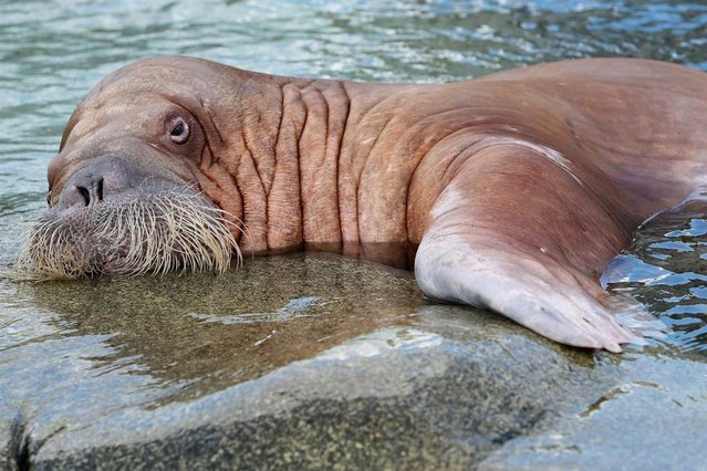 Female walrus Dyana swims in the Polar Sea enclosure at the Hagenbeck Zoo in Hamburg, Germany, on March 31, 2013. (Photo by Christian Charisius/AP Photo)