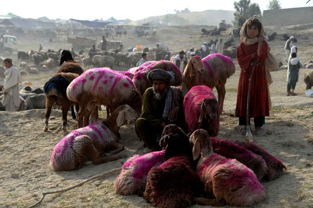 An Afghan vendor waits for customers at a cattle market set up for the upcoming Muslim holiday of Eid al-Adha,on the outskirts of Jalalabad on September 10, 2016. Muslims across the world are preparing to celebrate annual festival of Eid al-Adha or the festival of sacrifice which marks the end of the Hajj pilgrimage to Mecca and commemorates prophet Abraham's readiness to sacrifice his son to show obedience to God. (Photo by Noorullah Shirzada/AFP Photo)