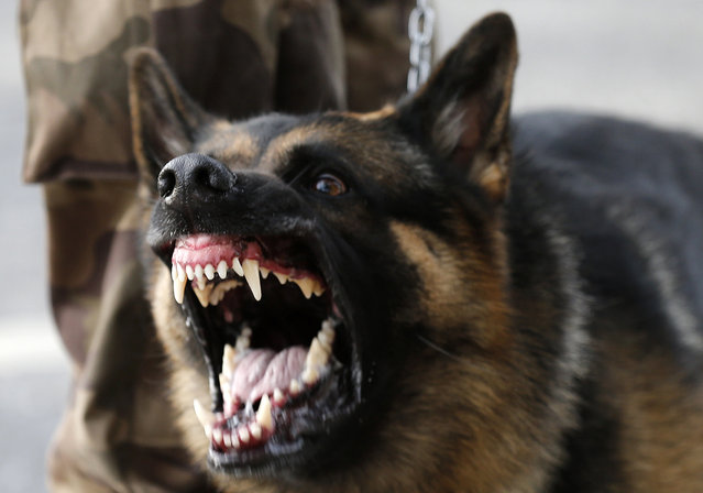 A police dog reacts as protesters clash with law enforcement troops during a demonstration outside Mineirao stadium, where the Confederations Cup soccer match between Japan and Mexico is taking place, in Belo Horizonte, Brazil, on June 22, 2013. (Photo by Sergio Moraes/Reuters)