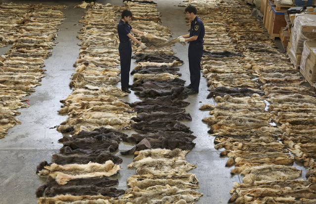 Customs officers check wolf skins at the Customs Inspection Center in Beijing Capital International Airport, August 8, 2013. A trading firm in Beijing is suspected of smuggling a total of 645 pieces of wolf skins from Greece. (Photo by Reuters/Stringer)