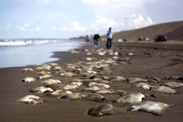 Stingray carcasses litter the shore of the Chachalacas beach near the town of Ursulo Galvan on Mexico's Gulf Coast, Tuesday, July 16, 2013. Mexican authorities are investigating the death of at least 250 stingrays. Ursulo Galvan Mayor Martin Verdejo says witnesses told authorities fishermen dumped the stingrays on the beach because they weren't able to get a good price for them. Chopped stingray wings are commonly served as snacks in Veracruz restaurants. (Photo by Felix Marquez/AP Photo)