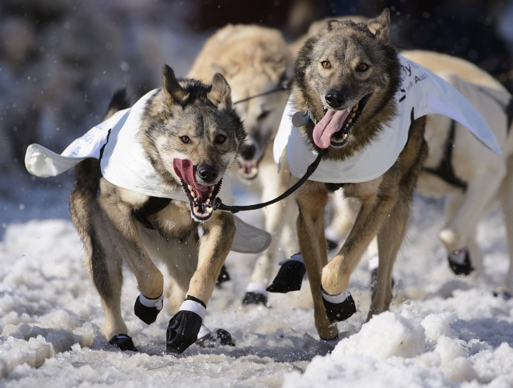 Iditarod Trail Sled Dog Race In Alaska